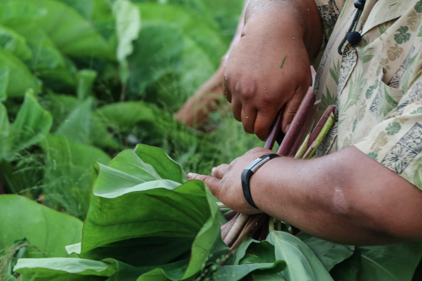 Project Director Kūʻike cuts the first kalo crop at Kupa ʻAina